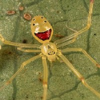 THERIDION